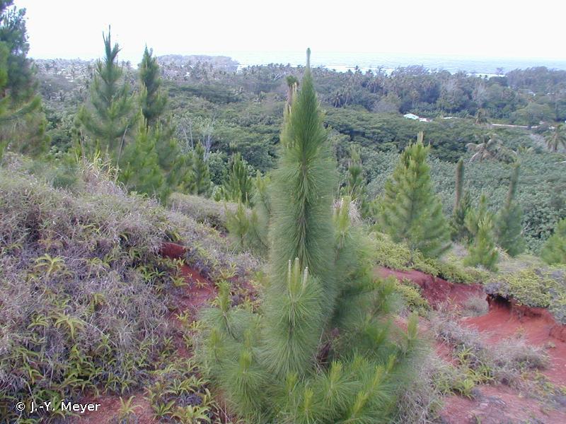 Pinus caribaea