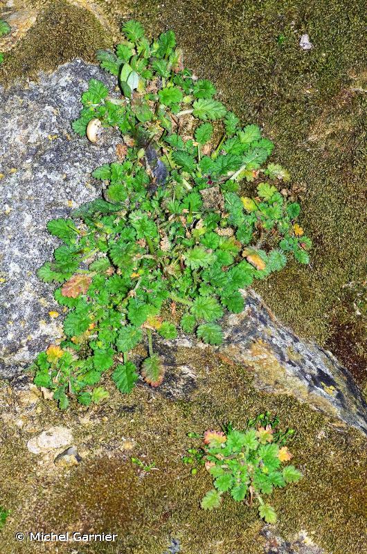 Erodium maritimum