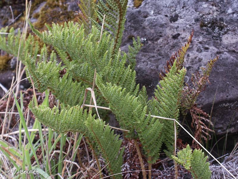 Polystichum ammifolium