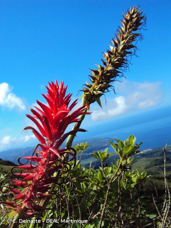Pitcairnia bifrons