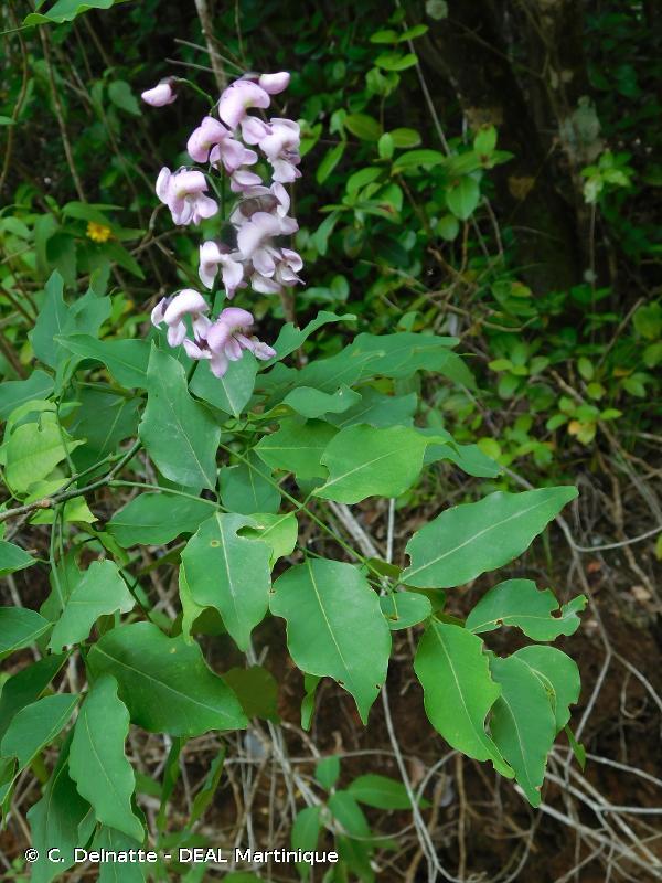 Lonchocarpus punctatus