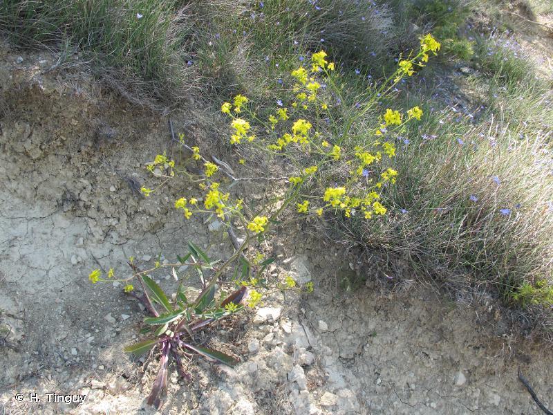 Brassica elongata