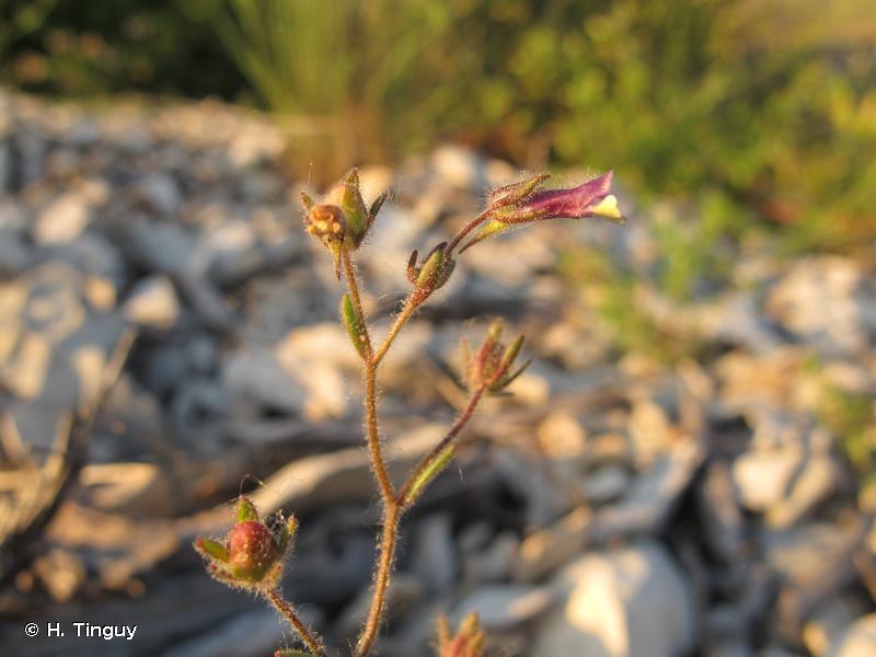 Chaenorhinum rubrifolium