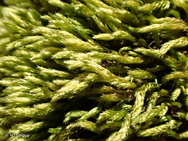 Cirriphyllum crassinervium