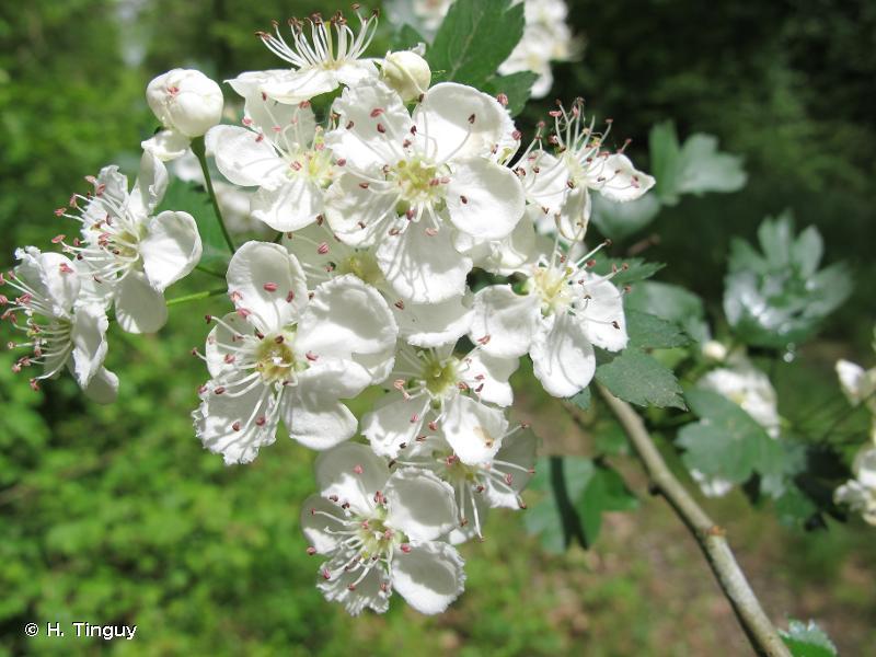 Crataegus x subsphaerica