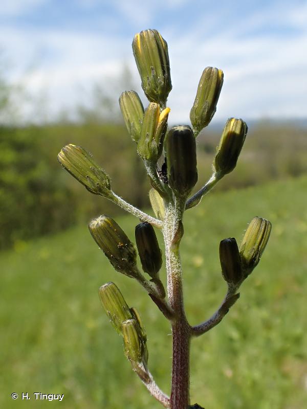 Crepis praemorsa