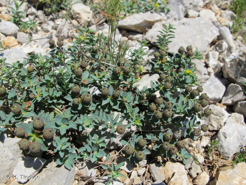 Euphorbia flavicoma subsp. mariolensis