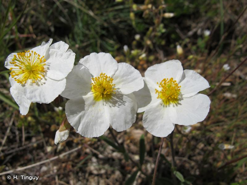 Helianthemum apenninum subsp. apenninum