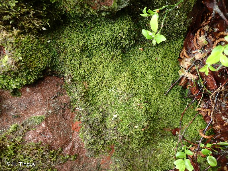 Lepidozia cupressina