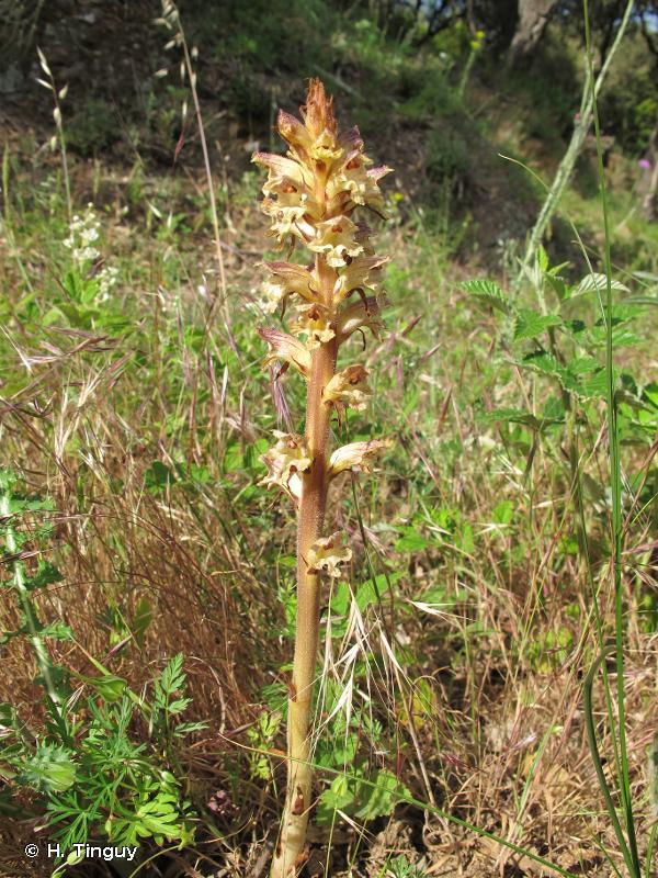 Orobanche reticulata