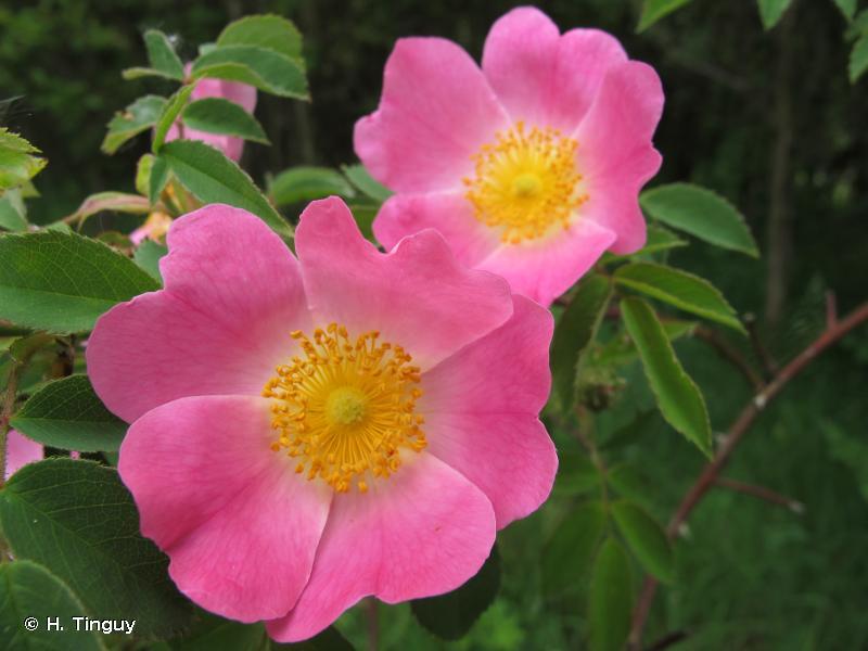 Rosa jundzillii