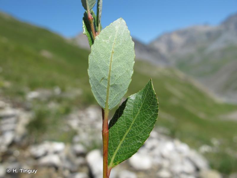 Salix foetida