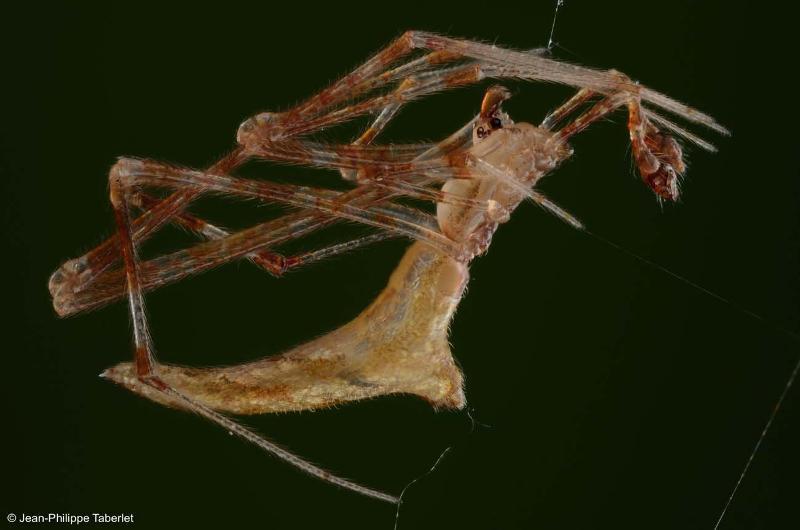 Rhomphaea nasica