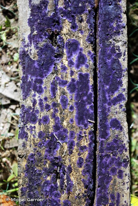 Pulcherricium caeruleum