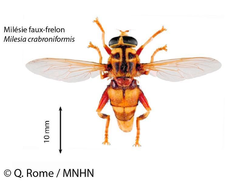 Milesia crabroniformis