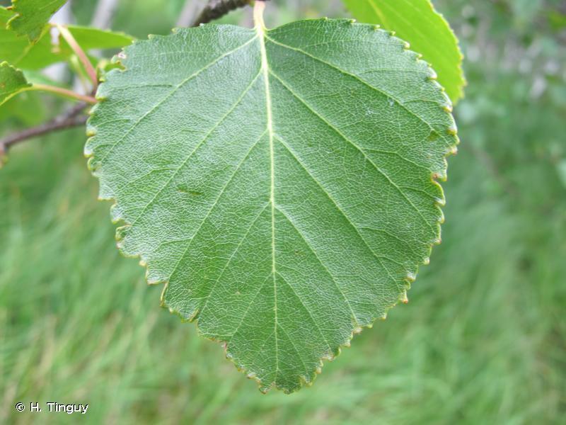 Betula pubescens var. glabrata