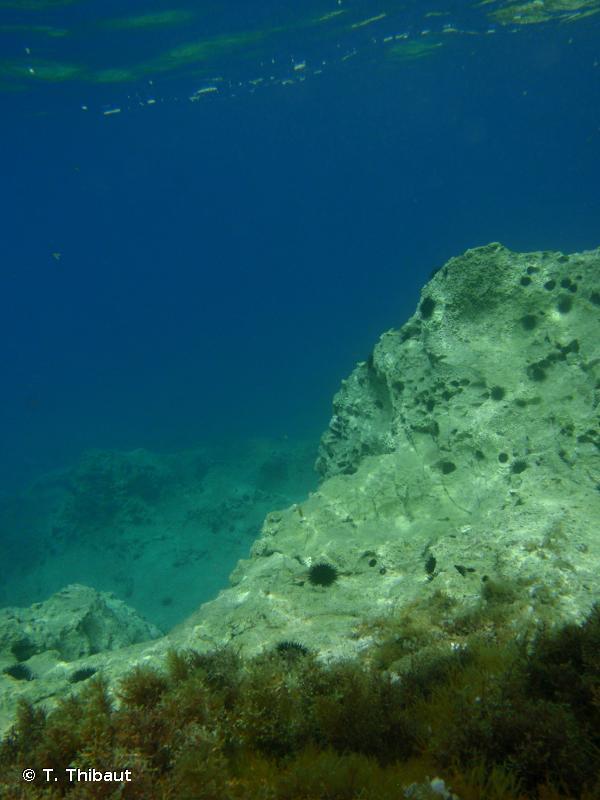 III.6.1.1.  - Faciès de surpâturage à algues encroûtantes et oursins - Convention de Barcelone