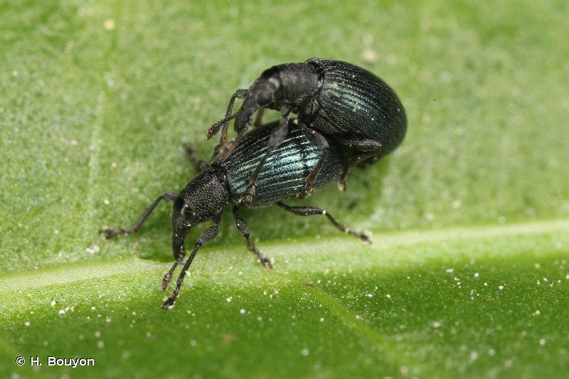 Perapion violaceum