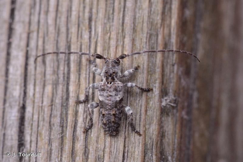 Pogonocherus perroudi perroudi