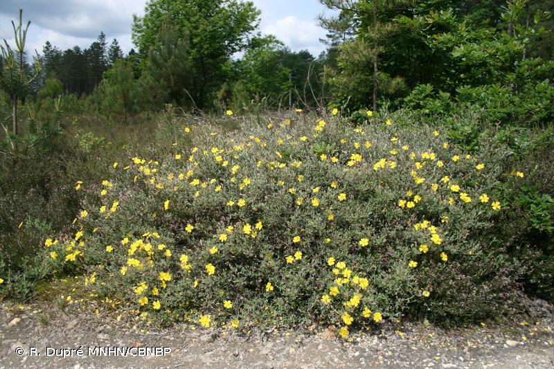 Cistus lasianthus subsp. alyssoides