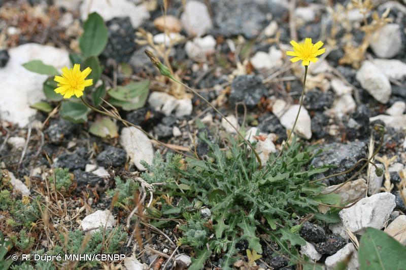 Leontodon saxatilis subsp. saxatilis