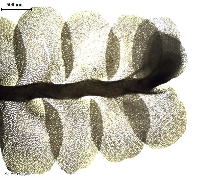 Pedinophyllum interruptum