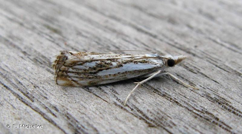 Catoptria falsella
