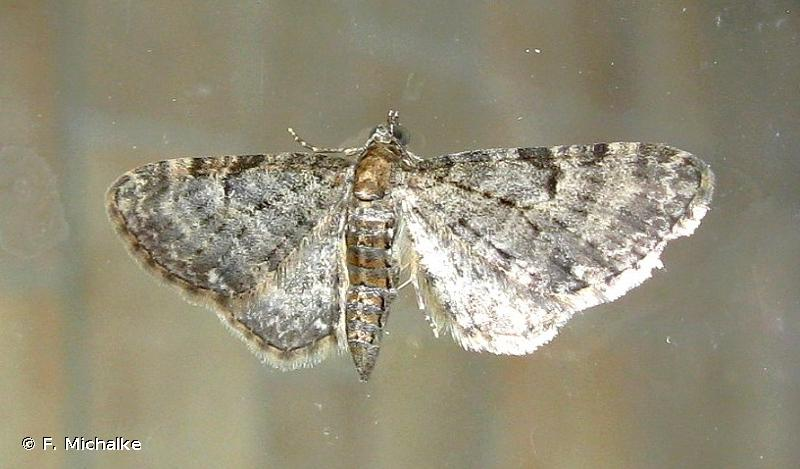 Eupithecia subfuscata