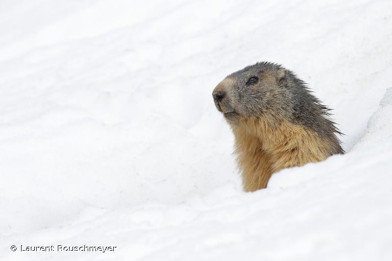 Marmota marmota marmota