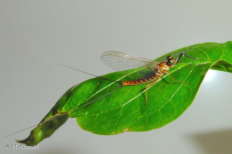 Ecdyonurus dispar