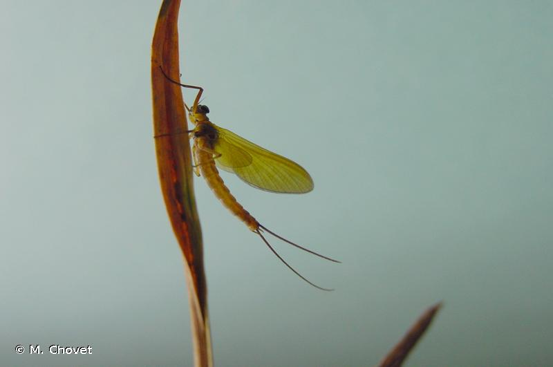 Metreletus balcanicus