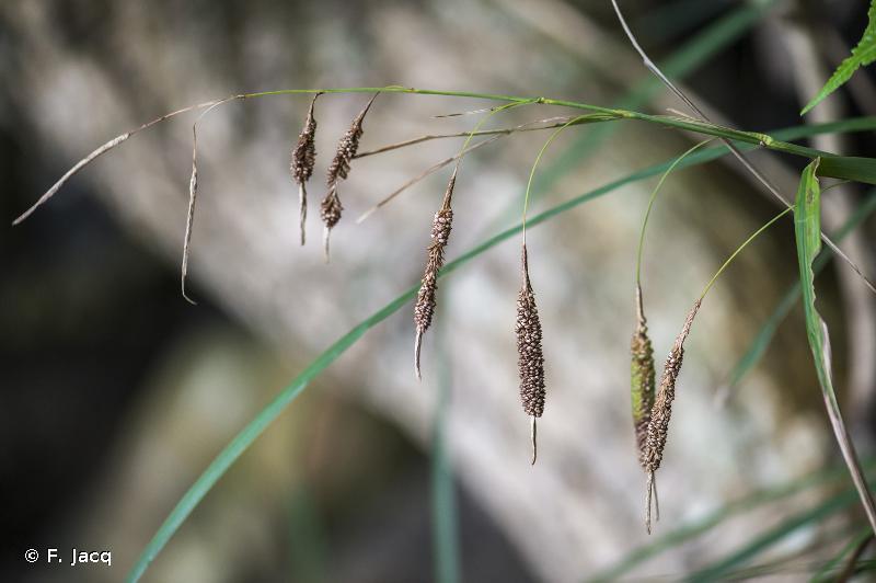 Carex stokesii