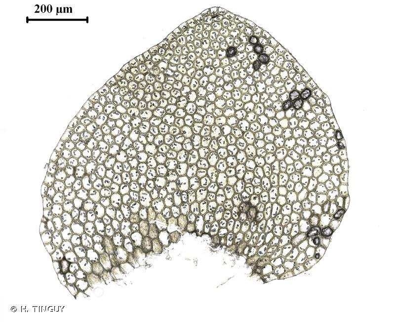 Calypogeia azurea