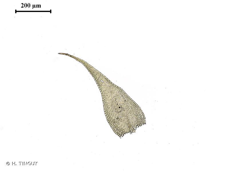 Pseudoamblystegium subtile
