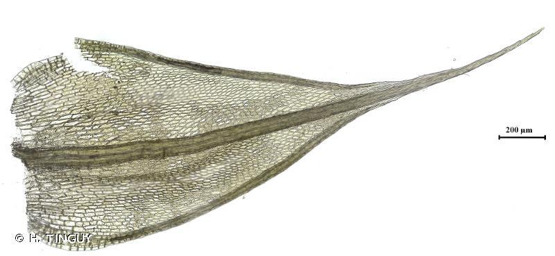 Ptychostomum imbricatulum