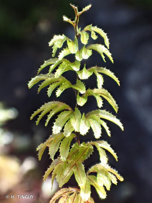 Hymenophyllum wilsonii