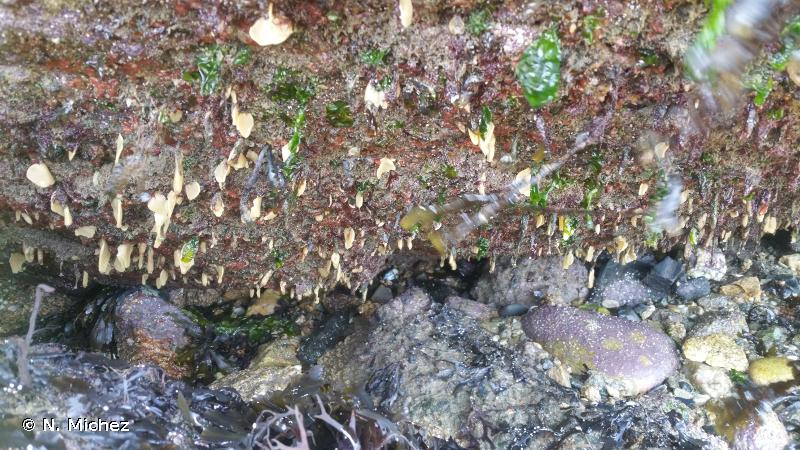 A1.446 - Éponges et algues rouges tolérantes à l'ombre sur surplombs rocheux du médiolittoral inférieur et en entrée des grottes - EUNIS