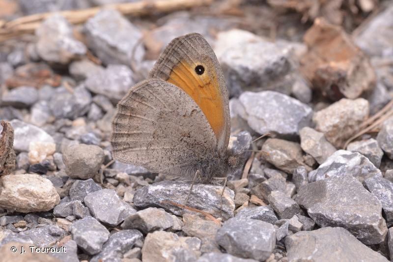 Hyponephele lycaon