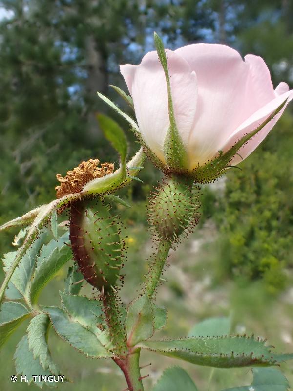 Rosa montana