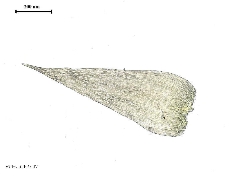 Isopterygiopsis pulchella