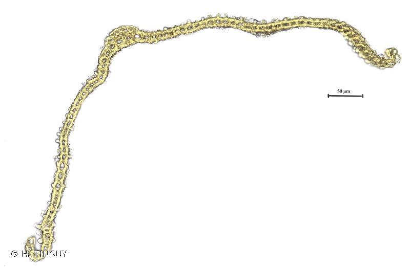 Racomitrium canescens