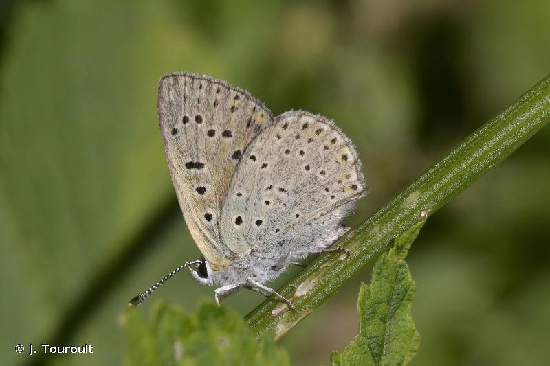 Lycaena tityrus
