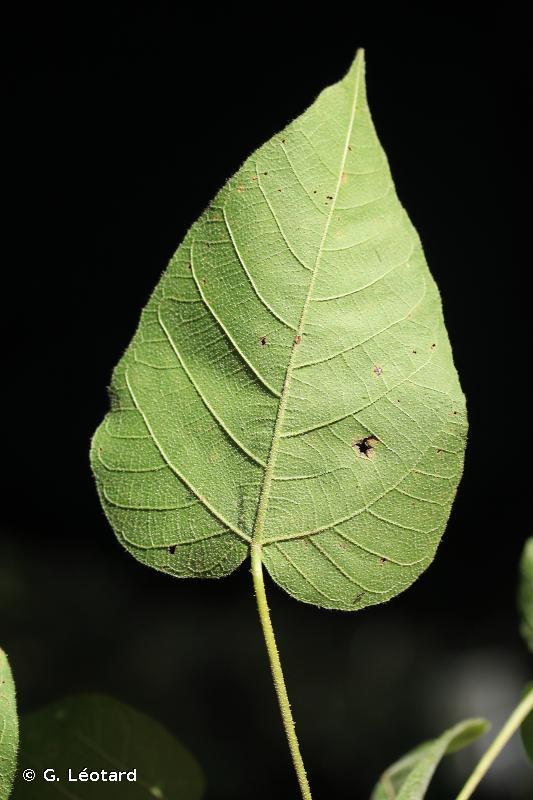 Croton draconoides