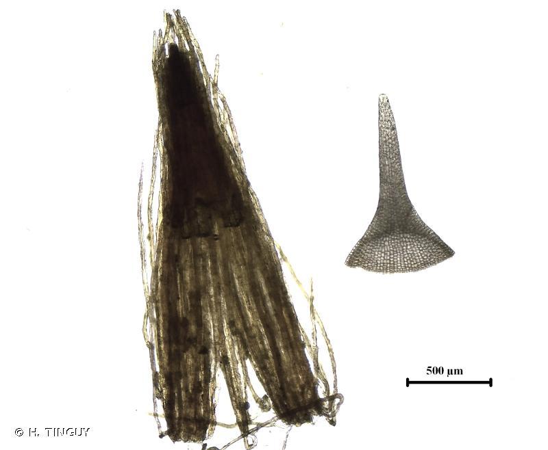 Ulota bruchii