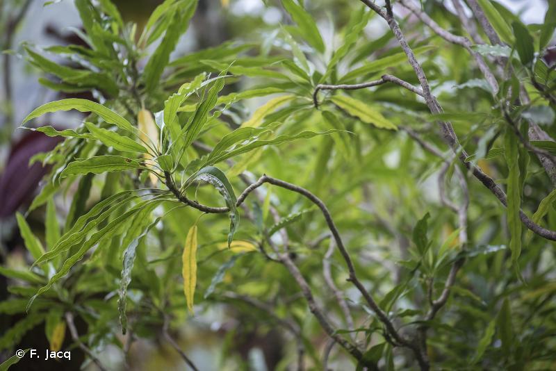 Meryta salicifolia