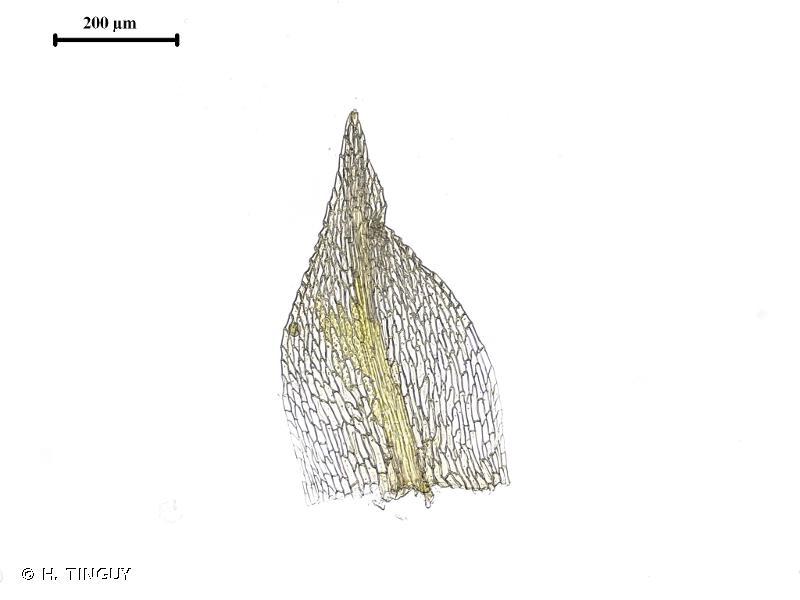 Archidium alternifolium