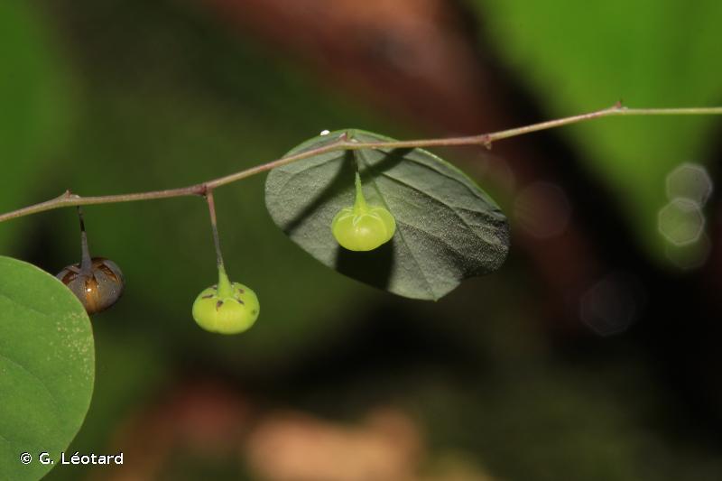 Phyllanthus orbiculatus