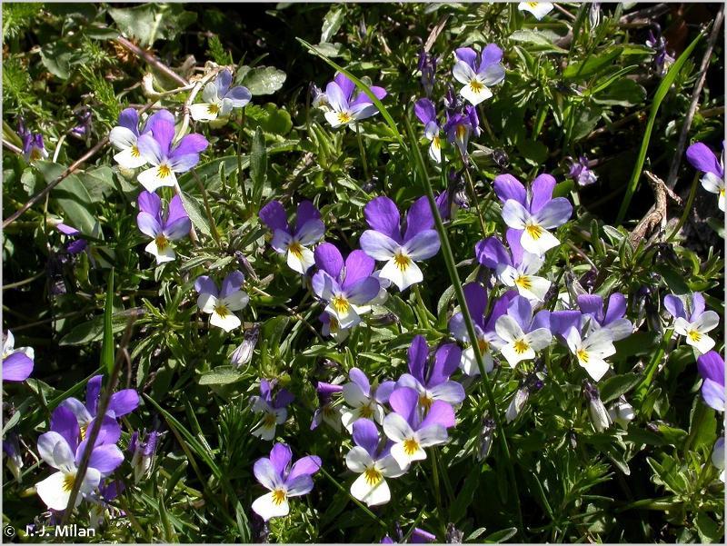 Viola tricolor subsp. tricolor