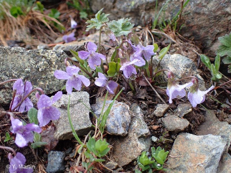 Viola thomasiana