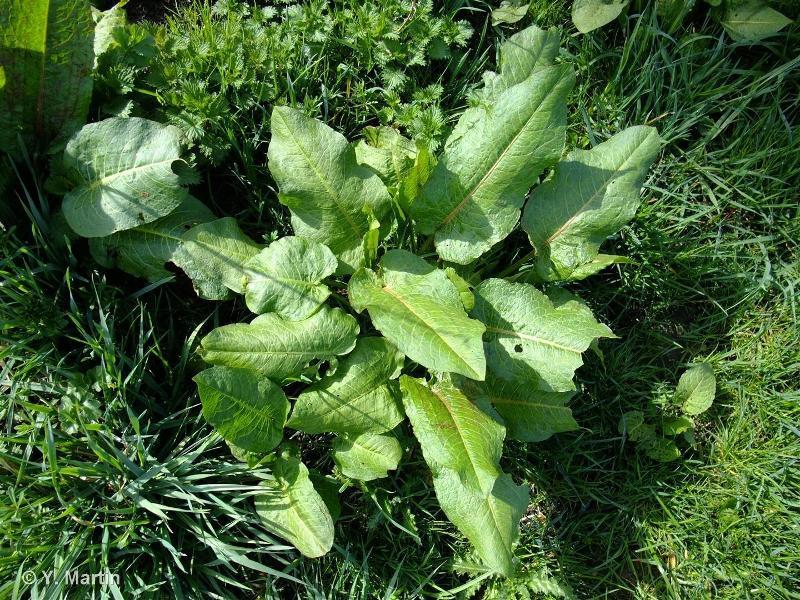 Rumex obtusifolius subsp. obtusifolius